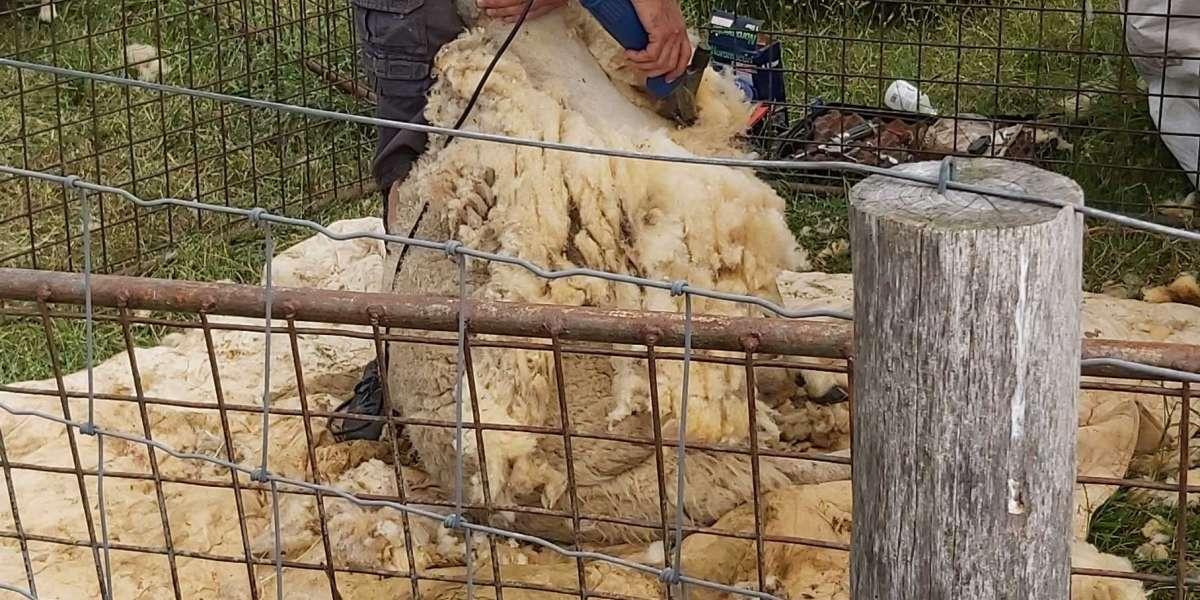 Schaapherder scheert zijn schapen.