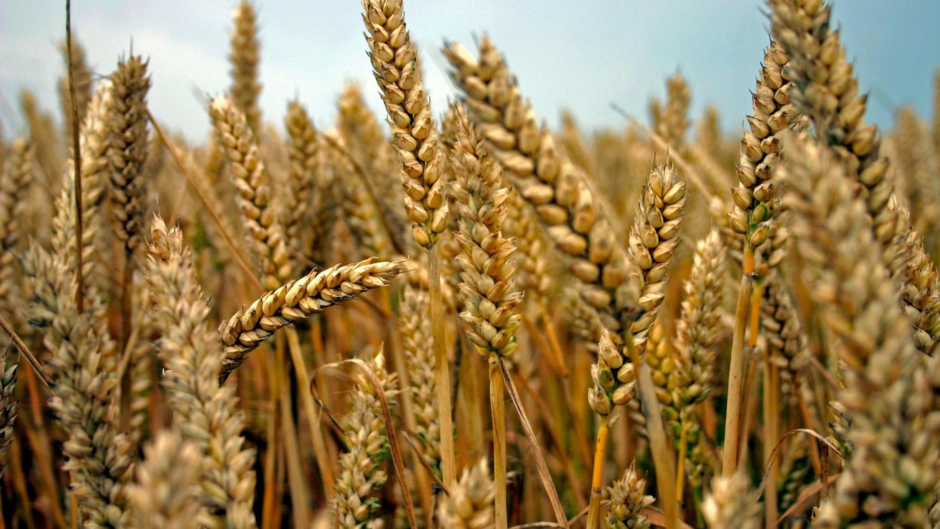 Wat is spelt en is het écht zo gezonder dan tarwe + Recept speltbrood? - Artikel.nl